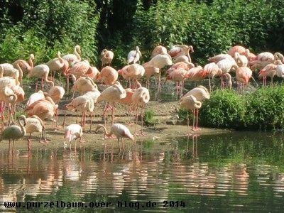 Flamingos20140609 010
