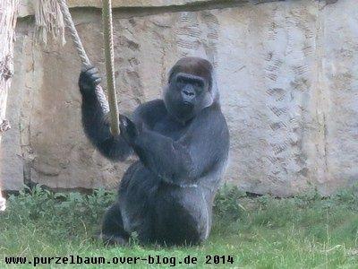 Gorilla20140802 033