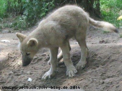 Polarwolf20140711 012