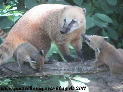 Nasenbären20110617 020