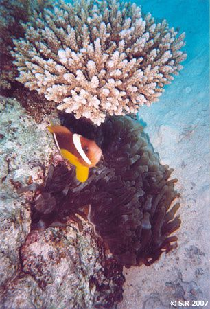Poisson-clown, anémone, corail
