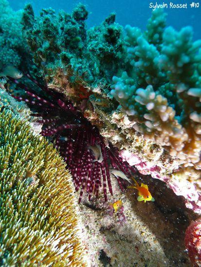 Oursin violet et petits poissons