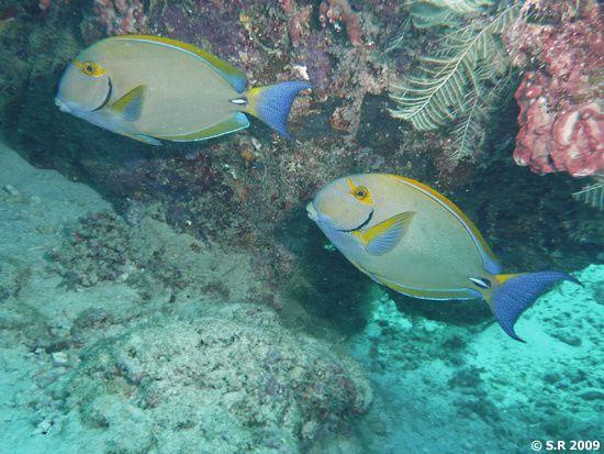 Un couple de poissons-chirurgiens