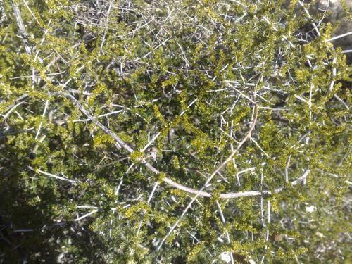 Herbier Asparagus7