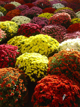 chrysanthemes (1)