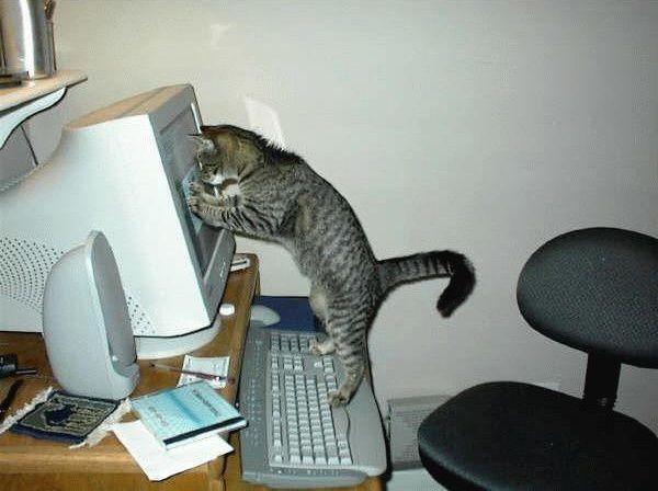 Chat regardant l'écran d'un ordinateur