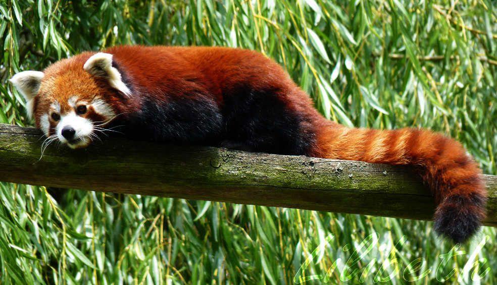 Petit panda roux tali bellule lilibeth mandareve bijoux fantaisie mandala deamcatcher - Coloriage petit panda ...