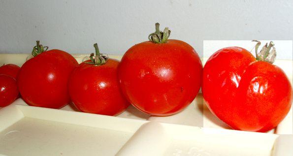 http://idata.over-blog.com/2/50/58/49/jardin/en-rapport/tomatefesse.jpg