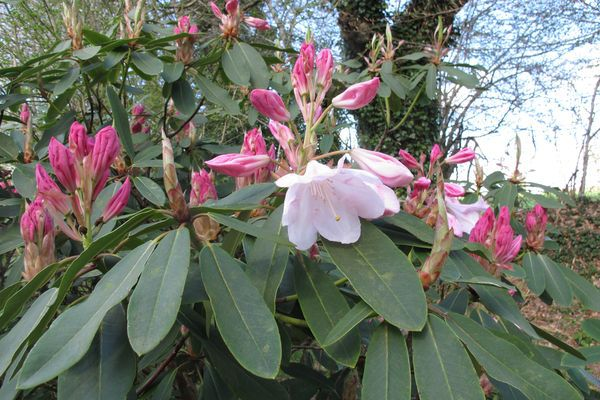 Rhododendron Loderi King George 014