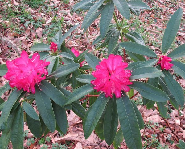 Rhododendron 'Cynthia' 1 12