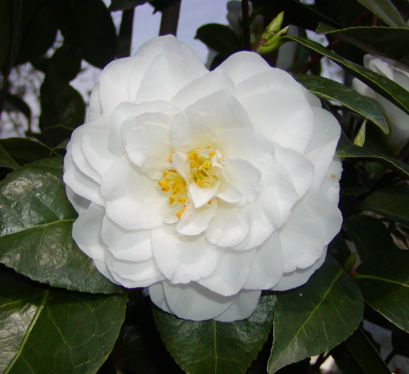 Pin Camelia Of Camellia Japonica on Pinterest
