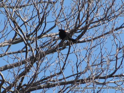 Animaux--Oiseaux-au-jardin 2245