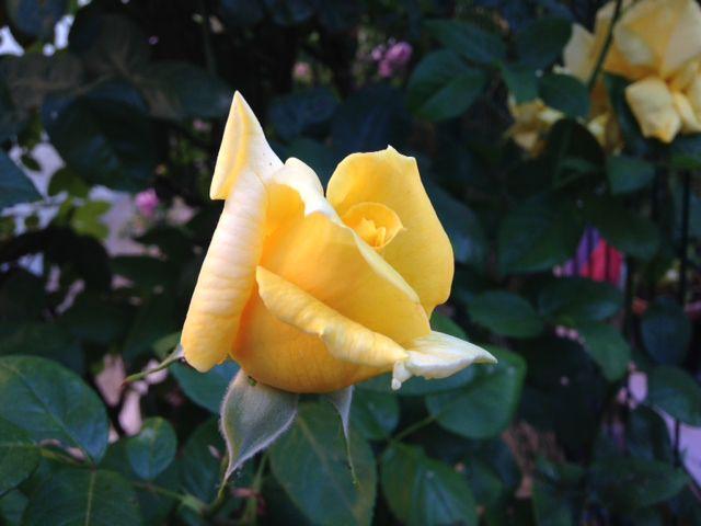 ROSE 10 MAI 1