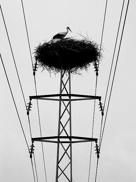 450px-Stork nest on power mast