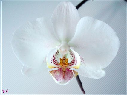orchidee-blanche.jpg