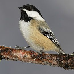 Black-capped-chicadee.jpg