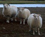 mouton_islandais.jpg