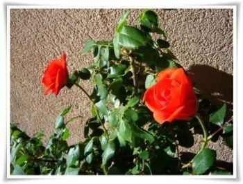 premieres-roses-2012.jpg