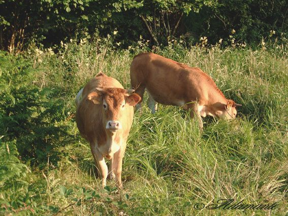 2-Vaches-copie.jpg