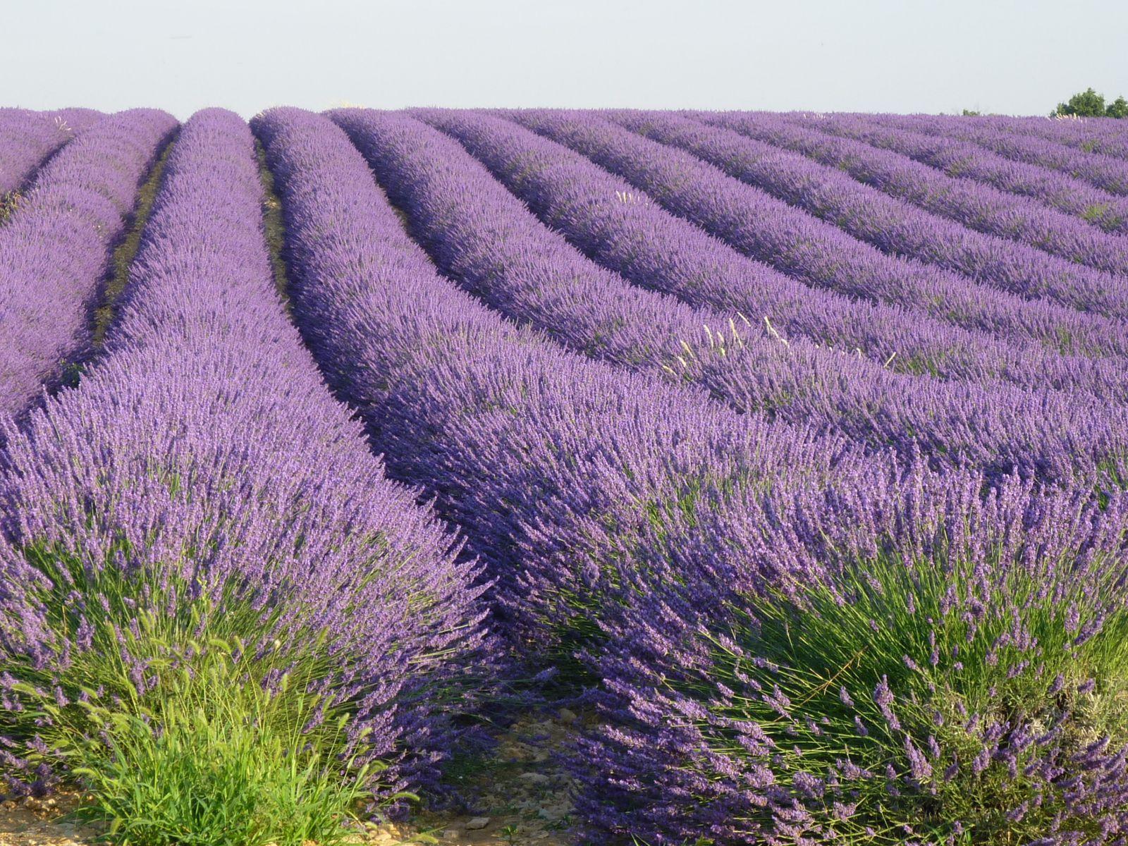 Album Lavande En Provence Jardin Du Sens