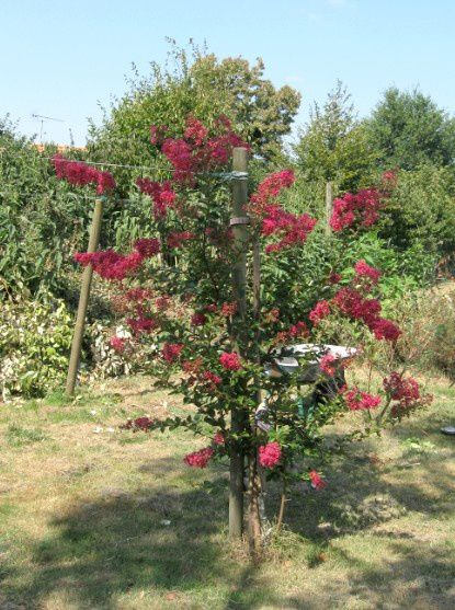 Mon lilas des indes le blog de miette - Lilas des indes racines ...