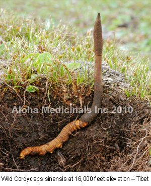 wildcordyceps