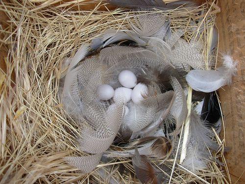 HIRONDELLE le nid