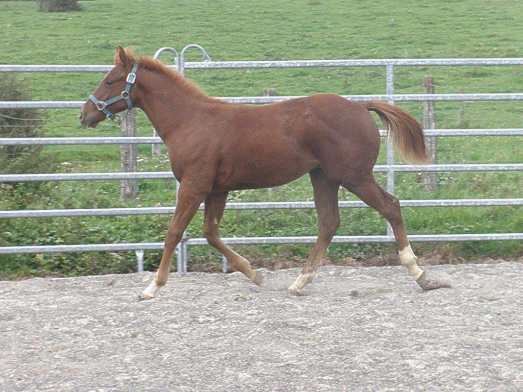 Quarter Horse plein papiers, lignée Lil Ruf Peppy, né en 2010.