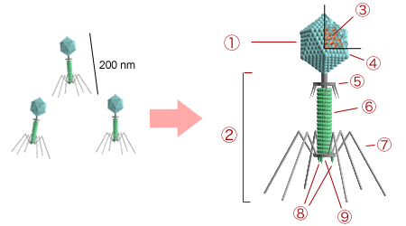 Bacteriophage_structure.png