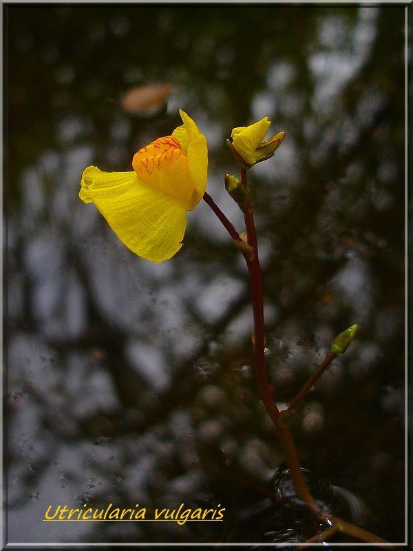 Utricularia vulgaris DSC02448
