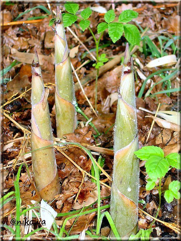 Phyllostachys aureosulcata DSC08332