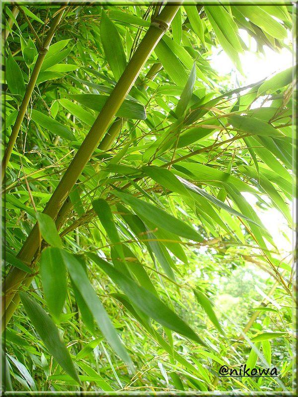 Phyllostachys Bambusoides DSC02492
