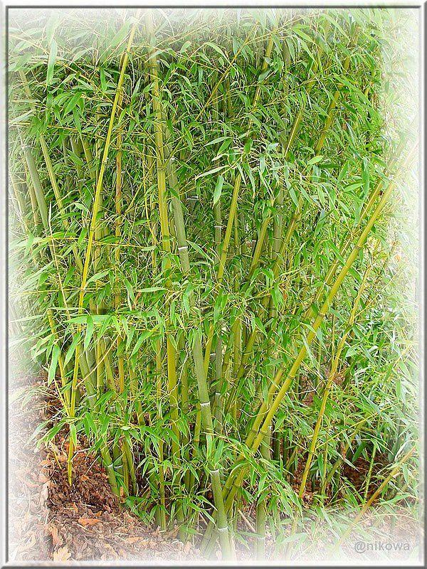 Phyllostachys Bambusoides DSC09120