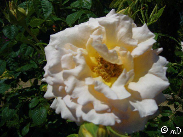 Pimbo 38 rose PK