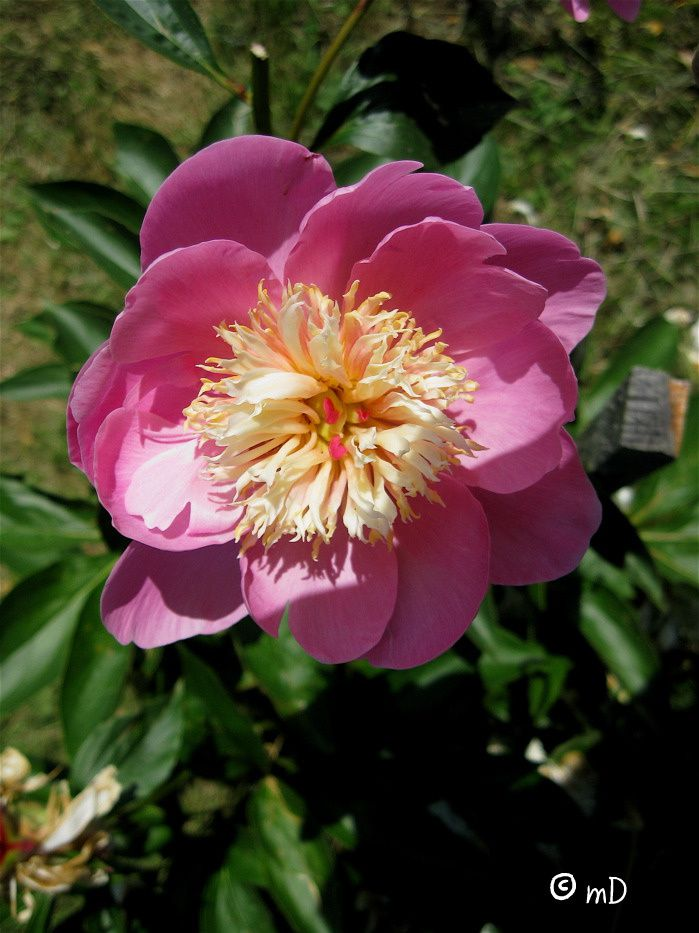 Pimbo 40 petite rose PK