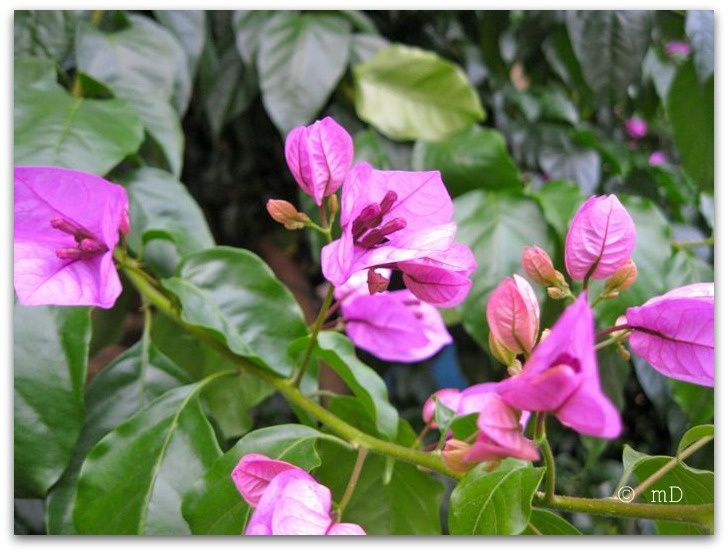 Bougainvilliers 2 kbis