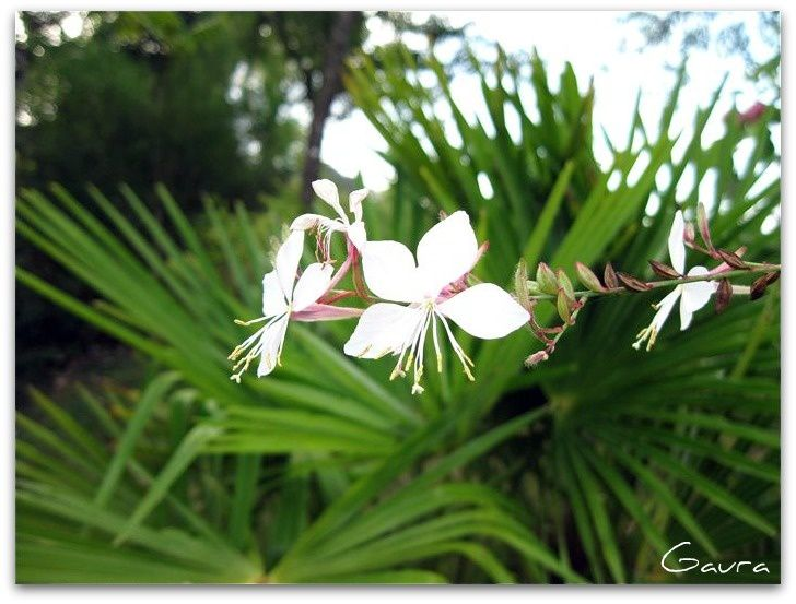 Gaura palmier 2