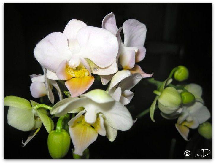 Orchidée d'octobre fine 2 k