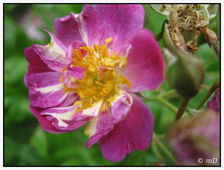 Rose magenta TX 4