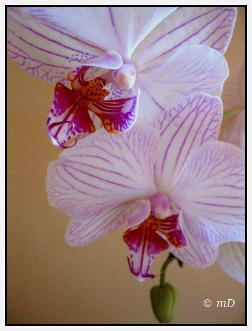 Orchidée 1- 2013 TX