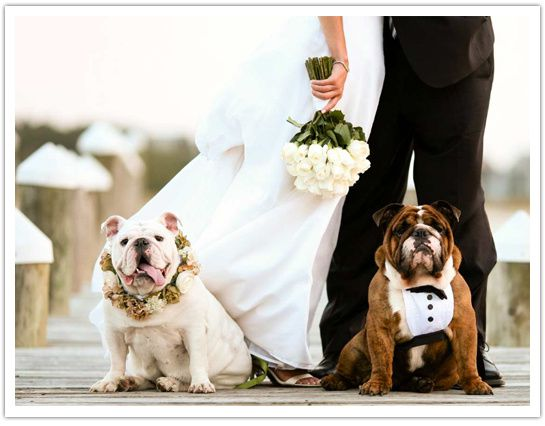 bulldogs-in-wedding.jpg