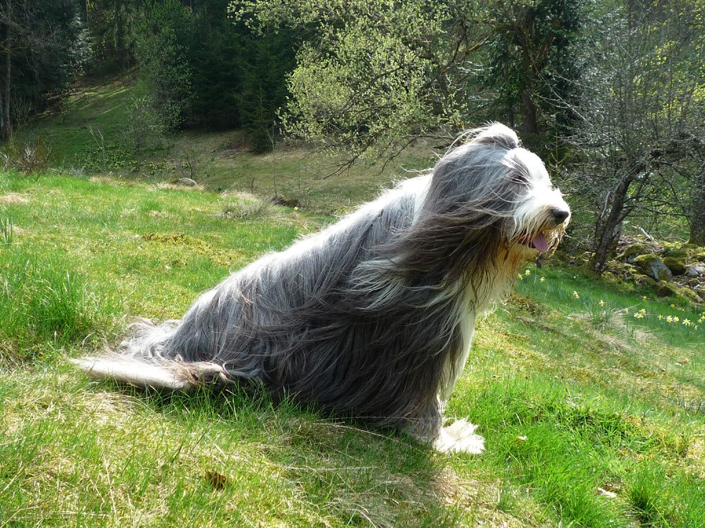 Ulysse - Bearded Collie - TACACORI EcoLodge - COSTA RICA