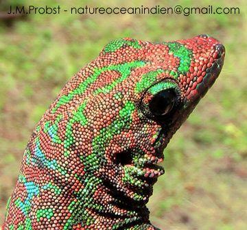 Gecko vert des Hauts, une espèce endémique menacée