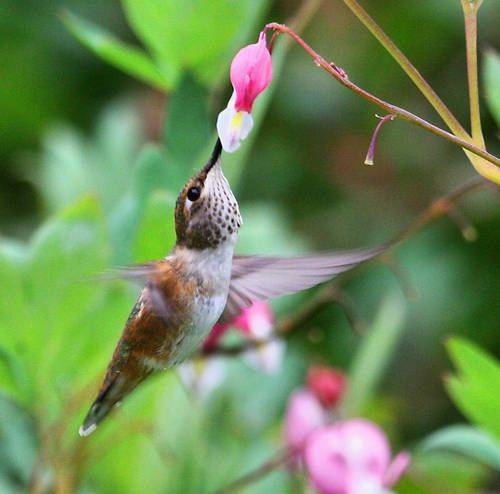 hummingbird-bleeding-heart-flower-2008_49638-copie-1.jpg