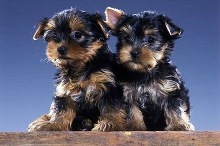 chiot_Yorkshire1