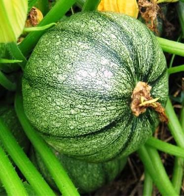 courgette-ronde-nice