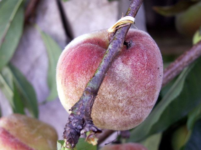 pecher_peche_fruit_02.jpg