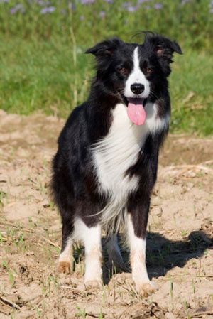 border collie - Le blog de sva.groupee