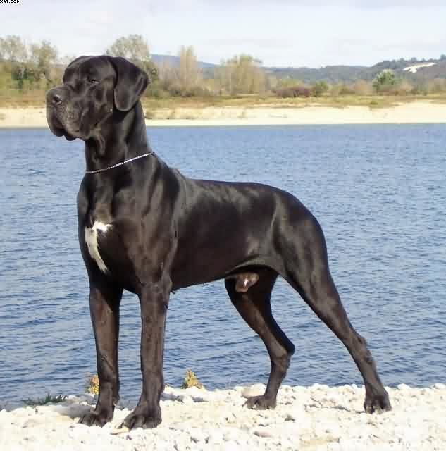 Dogue Allemand DOGUEALLEMAND