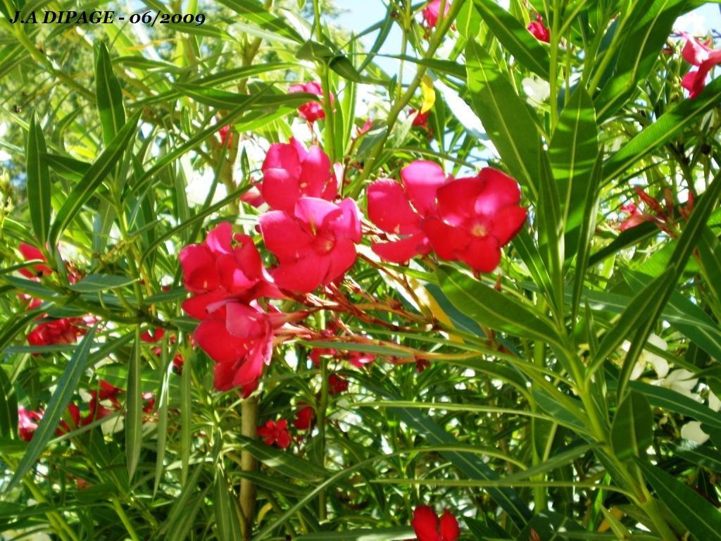 Le laurier rose nerium oleander sainte libert - Engrais pour laurier rose ...